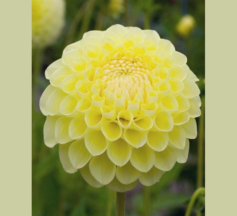 Георгина - цветок августа.