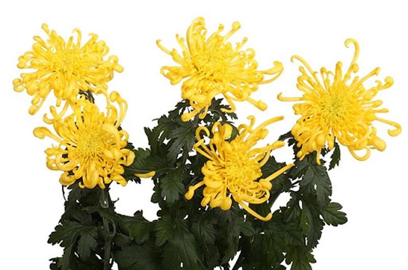 Пятерка любимчиков от Михаила Чудновца. Опять хризантемы.